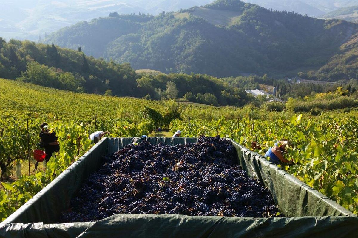 vendemmia-fattoria-nicolucci-vini-romagna