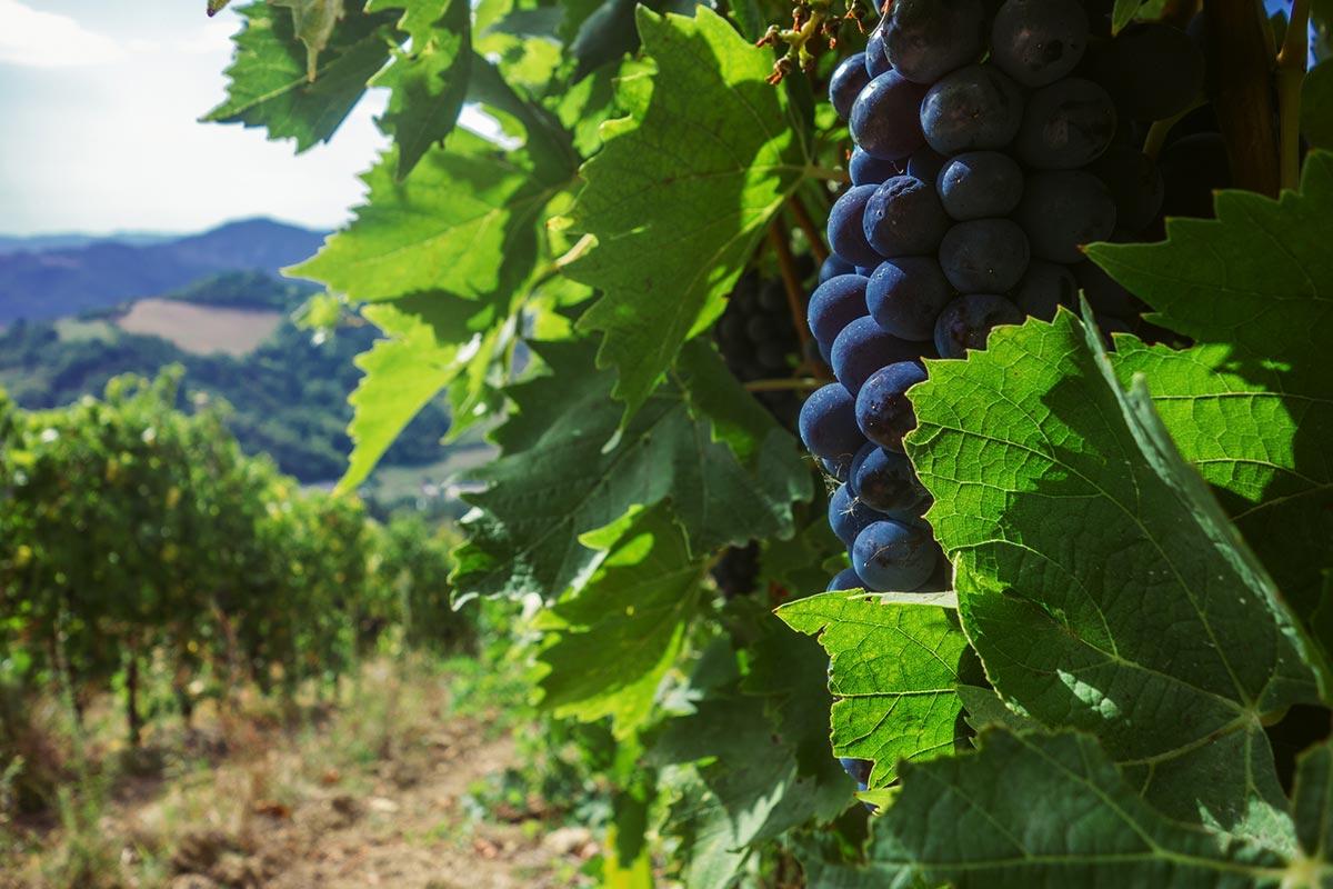 vigneti-romagna-fattoria-nicolucci